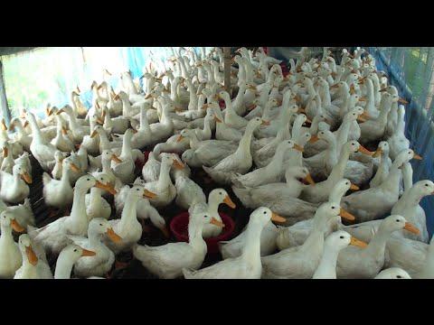 Pekin Duck Farm - How To Be Successful By Commercially Pekin Duck Farm