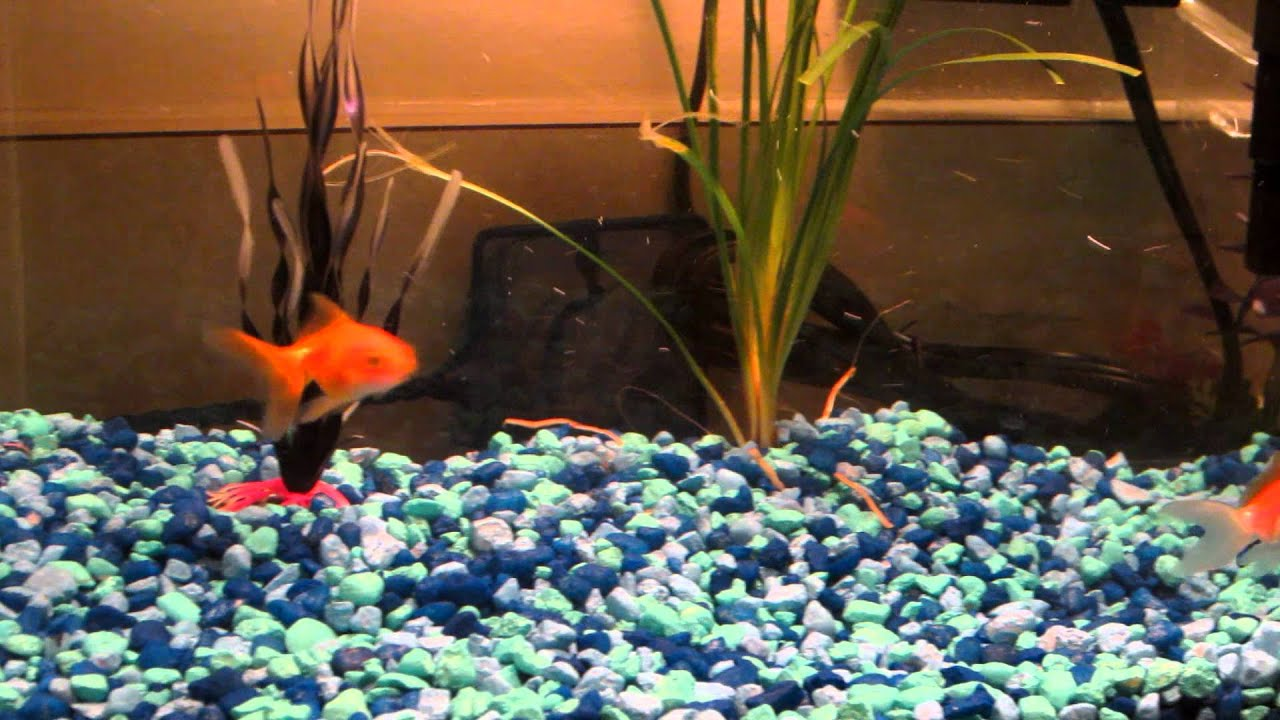 My baby Fantail Goldfish