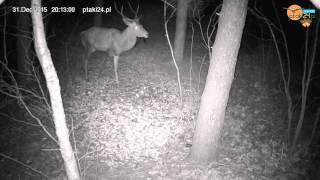 Jeleń bez nogi i dzik z podkurczoną nogą w karmisku dla zwierząt