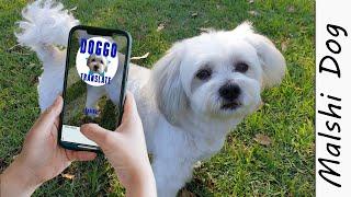 Doggo Translate APP, Dog Saying Sorry  Wookidog Malshi Dog #shorts