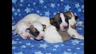 Coton de Tulear Puppies For Sale - Eliza 5/3/21