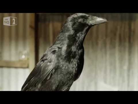 Gift giving crows - World's Weirdest Events: Episode 5 - BBC Two
