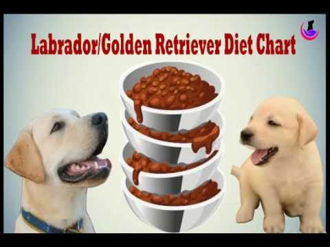 Labrador/Golden Retriever diet chart (in Hindi)