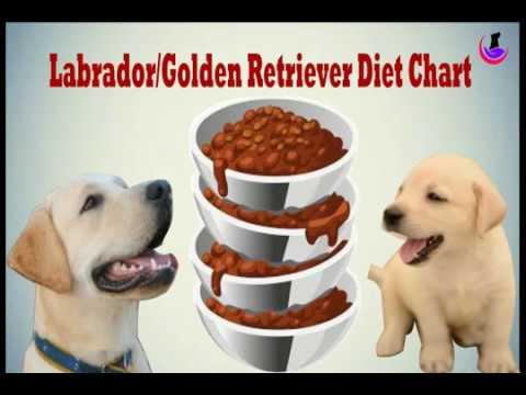 Labrador golden retriever diet chart in hindi also youtube rh