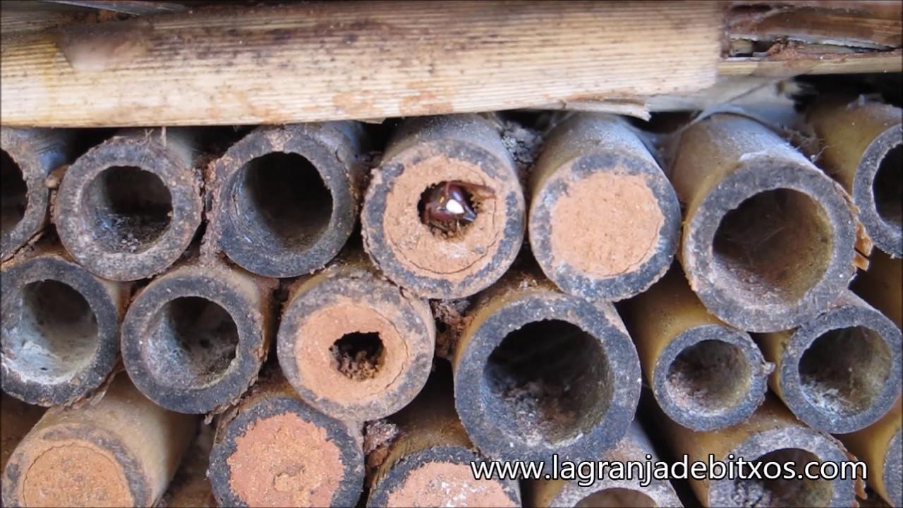 Download Avispa solitaria emergiendo de hotel de insectos. (Solitary wasp)