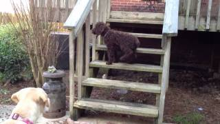Standard Poodle Puppy Vs Yellow Lab