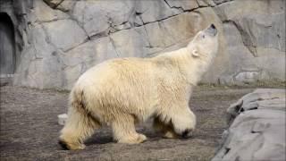 My first visit with new polar bear Nan