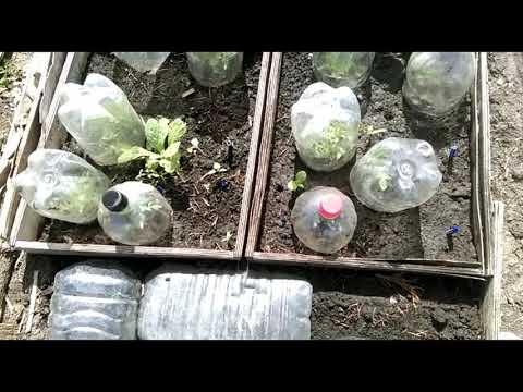 Вопрос: Как произвести подзимний посев томатов?