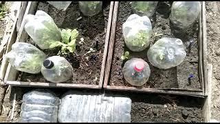 Результат моего эксперимента!! Посев томатов под зиму..