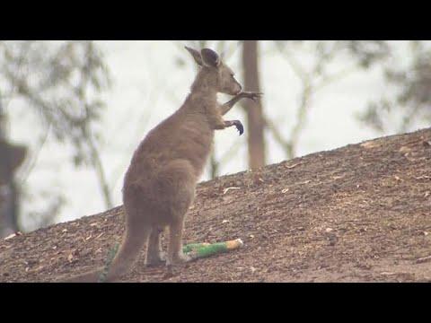 Avustralya'da yangın kanguru sığınağını kül etti: 'Onları kaybetmek ailemi kaybetmek gibi'