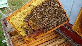 Состояние пасеки 23.09.2018 пчела