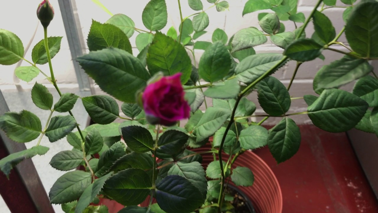 Growing Roses Indoors You
