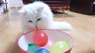 水風船を噛む子猫にこの後悲劇が…笑