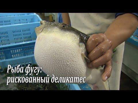Рыба фугу смотреть видео