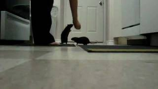 Trained rats do tricks for treats.