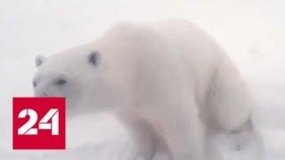 видео: На Новой Земле из-за белых медведей введен режим ЧС - Россия 24