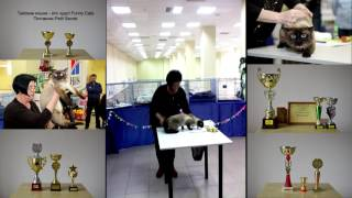Тайский кот Оскар вошёл в десятку лучших на выставке кошек г Барнаул 27 03 2016! Тайские кошки - эт