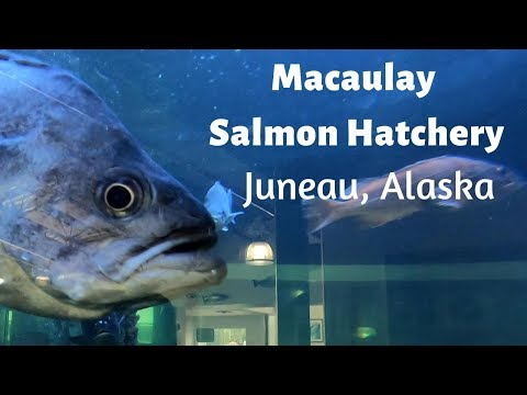Macaulay Salmon Hatchery In Juneau Alaska EXCELLENT SHORE EXCURSION