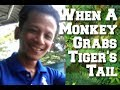 What Happen When A Monkey Touch A Tiger Funny