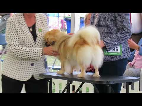 Finlay the Tibetan Spaniel, a day at Richmond Dog Show