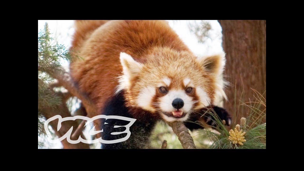 Cute Red Pandas Youtube