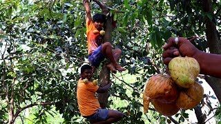 Fresh Nona Ata Fruit | Village Boys Collect and Eating Fresh Custard Apple from the Tree