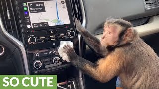 Gambar cover Capuchin monkey politely cleans owner's car