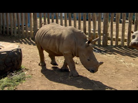 Poachers even target rhino orphanages