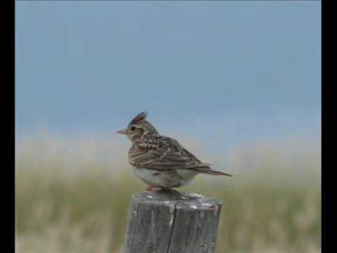 to a skylark vs ode to Skylark is a lovely song written by hoagy carmichael in 1941 it fits nicely under the guitar fingers in g, so i've transposed it into that key from the original key of eb.