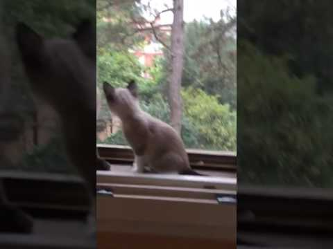 Thai cats watch a squirrel jumping on trees