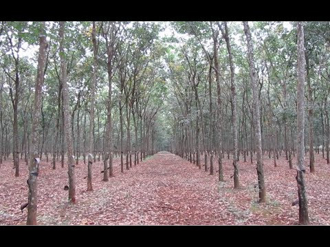 Rubber Plantation at Krek, Tboung Khmum Province, Cambodia