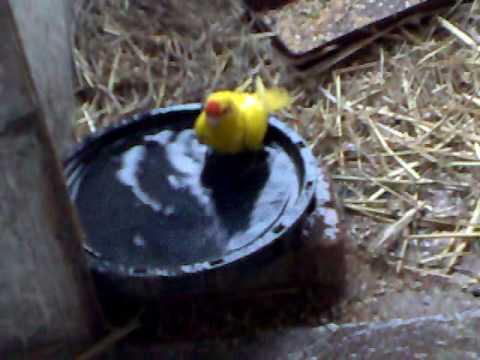 kakariki (red crowned parakeet) is taking a winter bath