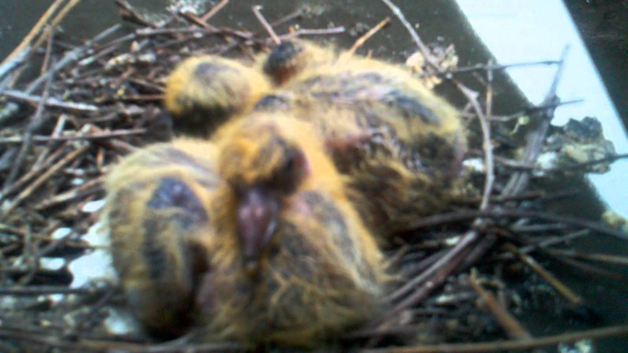 Baby Pigeons Do Exist! - YouTube