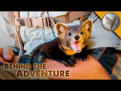 Thumbnail: The Ever-Adorable Pine Marten