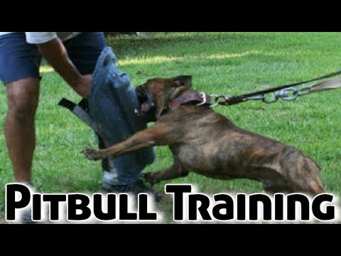 How to Train a Pitbull Puppy (Dog Training)