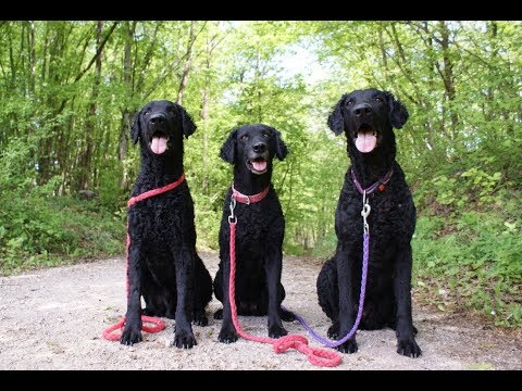 Curly Coated Retrievers - building muscle memory