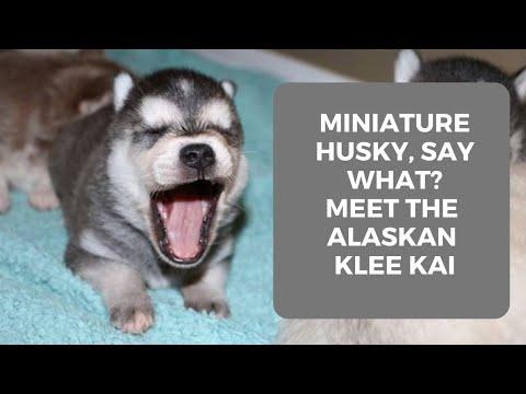 Alaskan Klee Kai Puppies LIVE II Miniature huskies