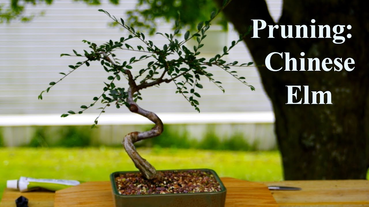13 Pruning Chinese Elm Youtube