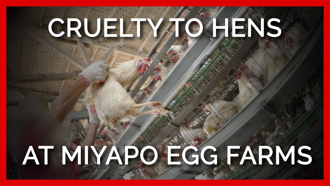 Cruelty to Hens at Miyapo Egg Farms