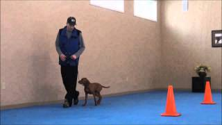 Miles (vizsla) Dog Training Boot Camp Video