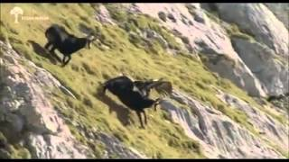 Орел против козла