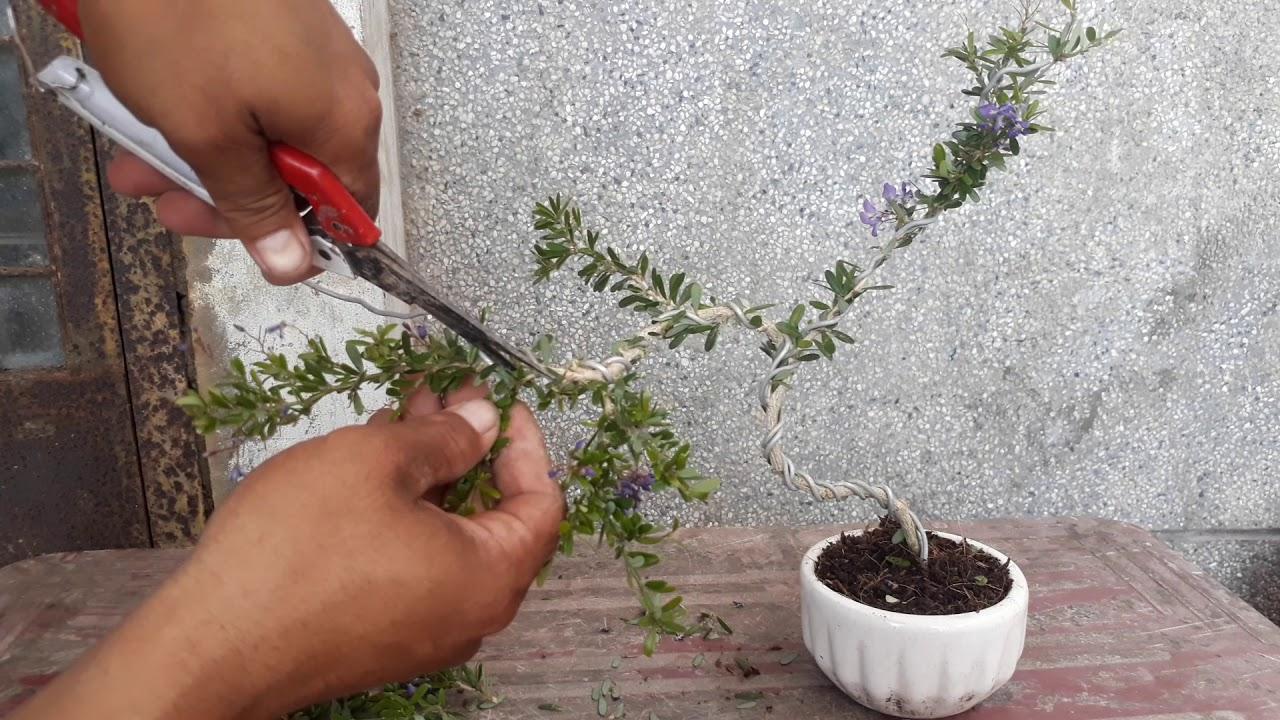 Hướng dẫn uốn cây bonsai mini dành cho người mới tập uốn