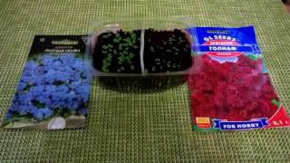 Агератум: посев семян, первые всходы