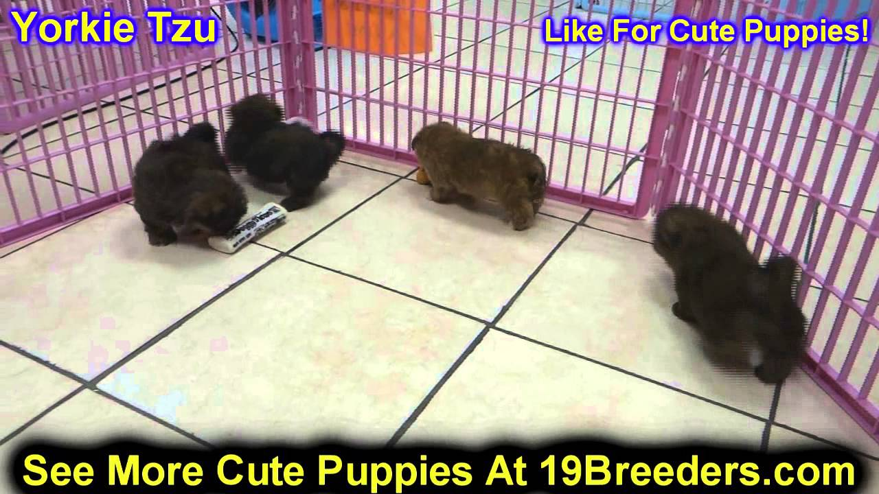 yorkie puppies for sale in philadelphia yorkie tzu puppies for sale in philadelphia 8999