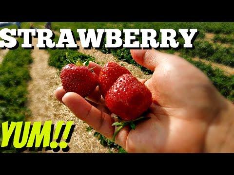 Summer outdoor activity! Strawberry picking!!
