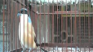 Download Video kicau burung toet 2 MP3 3GP MP4