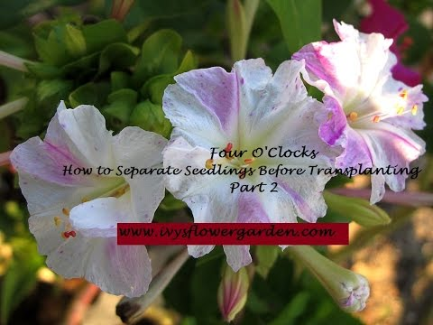 How to Separate Seedlings Part 2 four o'clocks