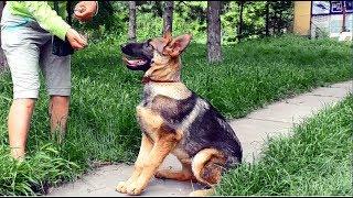 Знакомьтесь,  Отвага. Щенок немецкой овчарки зонарно-серого окраса. Puppy German Shepherd.