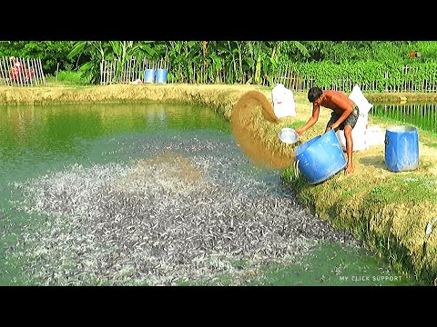 Fish Farming Business In Asia Part-2 | Million Catfish Eating Fish Feed In Pond