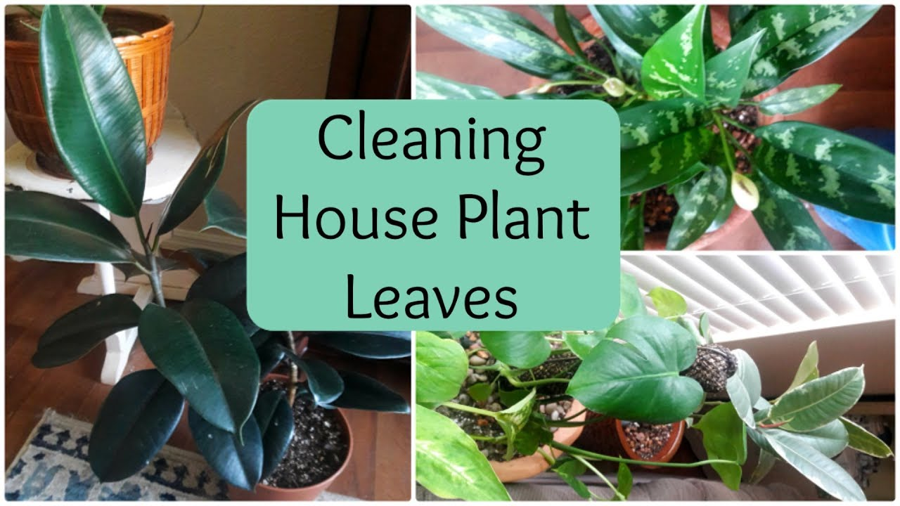 How To Clean Houseplant Leaves Natural Leaf Shine For Houseplants on natural boxes, natural fire ant killer, natural rock shine, natural sun shine, natural spider killer,